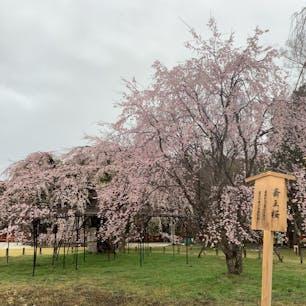境内の斎王桜