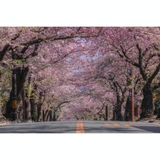 静岡県 〜伊豆高原桜並木〜 レタッチで桜の色を際立たせました。 本当の色はもっと白いです笑 現在満開から若葉が芽吹き始めているので 見頃はあと少しで終わりそうですね🌸