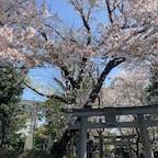 . 御嶽神社の桜 風で散った花びらが 絨毯になってて綺麗だった、、🌸