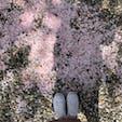 . 桜の絨毯🌸 おみくじは 大吉 でした