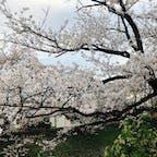 2021.4.3 松川べりの桜🌸 もう葉桜