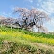 三春滝桜  福島県田村郡三春町にあるエドヒガン系の紅枝垂桜で、1922(大正11)年に国の天然記念物の指定を受け、日本三大桜のひとつに数えられている。樹齢は1000年以上だと推定され、樹高は13.5m、枝張りは東西に25m南北に20mに達する。四方に伸びた太い枝に、真紅の小さな花を無数に咲かせ、その様がまさに水が滝のように流れ落ちるように見えることから、滝桜と呼ばれるようになったと言われている。  #サント船長の写真 #サントの桜巡り #日本三大桜