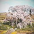 三春滝桜 2021・4月2日に見学に行って来ました。 見事までに素晴らしいですね。  #サント船長の写真 #サントの桜巡り #日本三大桜