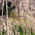 三春滝桜 日本三大桜の一つですが、一言「お見事です」桜は日本人の魂?見事までに咲き、又見事までに散る、素晴らしいですね。  #サント船長の写真 #サントの桜巡り #日本三大桜