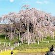日本三大桜。滝桜。 いつからなのか、1人300円の入場料がかかるようになりました。桜の保存のために使われるんだとか。