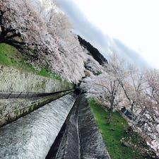 大津の第一疏水の桜