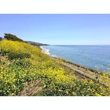 ゴリータ(カリフォルニア)  山々も谷も辺り一帯、マスタード色のカーペットが敷き尽くされる4月。  アムトラックの線路と並行に走る、1号線のアロヨ・ホンド・ビスタ・ポイント(Arroyo Hondo Vista Point)からの眺め。  セントラル・コーストの山間にも、待ち侘びた春が来たことをしみじみ実感できるひととき。  #goleta #california #canolaflower