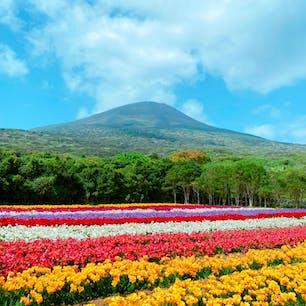 ◆八丈島のフリージアまつり◆  八丈富士を背景に35万本のカラフルなフリージアが満開!