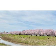 有名な桜スポットではないけど 目の保養🌸
