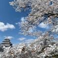 福島県会津若松にある鶴ヶ城は今が🌸満開の時季です。