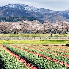 2021.4.10 富山県朝日町 舟川べり 桜は終わりかけだけれど春の四重奏を見にきました。