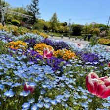 ネモフィラ  #花博記念公園鶴見緑地#花博記念公園#鶴見緑地#ネモフィラ#チューリップ#お花畑