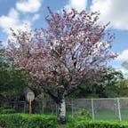 八重桜を見に立ち寄りました。