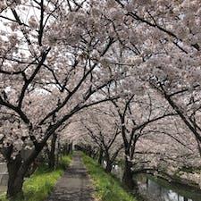 静岡県焼津市内を流れる目黒川と、桜のトンネル🌸🌸🌸 今年は例年に無い暖かさで、3月下旬が見頃でした。平日は、殆ど人がいなくて、貸し切りに近い状態でした。