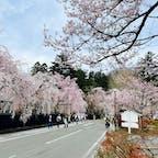 角館の桜です🌸 今週末が見頃ですね!