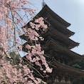 醍醐寺〜🌸 しだれ桜は終わってましたが、とってもピンクが鮮やかで綺麗でした〜☺️