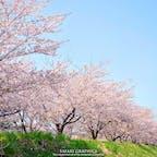 余市川の両岸に5kmに渡ってソメイヨシノが咲く「余市川桜づつみ」。ニッカウヰスキーや春の雪渓などと一緒に鑑賞することができる、比較的穴場の桜の名所です🌸この写真は数年前に撮影した葉桜になりかけの頃のものですが、うまく満開にタイミングを合わせられたらとっても見応えがあるスポットです!#北海道 #余市 #余市川桜づつみ