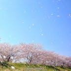 余市川の両岸に5kmに渡ってソメイヨシノが咲く「余市川桜づつみ」。ニッカウヰスキーや春の雪渓などと一緒に鑑賞することができる、比較的穴場の桜の名所です🌸海にも近いため時折り海風が吹き抜け、見事な桜吹雪が見られることもあります!#北海道 #余市 #余市川桜づつみ