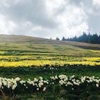 2021.4.18 夢の平 秋のコスモス畑が有名だけど 春の水仙畑も綺麗 見頃は5月かな…