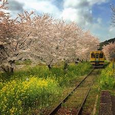 春の房総、いすみ鉄道の総元(ふさもと)駅。鉄道ファンには人気のラインで、毎年春には大勢の観光客が訪れます。