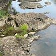 宇治川の亀石 亀石にまつわる逸話・伝承飛鳥時代中期の伝承上の天皇・垂仁天皇が、大亀を矛で刺し貫いたところ石になった。桃山時代に豊臣秀吉が伏見城を築いた時、宇治川の水を城内に引く地下水路の取水口をカモフラージュするための蓋(フタ)とした。  #サント船長の写真 #奇石