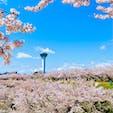 ようやく訪れた北海道の春🌸  函館市五稜郭公園は見渡す限り桜の森 青空と鳥の声に癒されました
