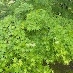 興聖寺  琴坂のいろはもみじ 緑のもみじもなかなか良いです。  #サント船長の写真