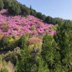 西明寺  裏山には山ツツジが見事です。  #サント船長の写真 #京都