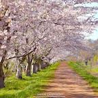 余市川の両岸に5kmに渡ってソメイヨシノが咲く「余市川桜づつみ」。ニッカウヰスキーや春の雪渓などと一緒に鑑賞することができる、比較的穴場の桜の名所です。JR余市駅から徒歩で行くことができるのも魅力的なスポットです!#北海道 #余市 #余市川桜づつみ