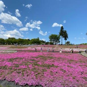 埼玉秩父の羊山公園の芝桜。