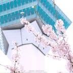 北海道随一の桜の名所、函館五稜郭。道内で最も早く桜前線が上陸する函館の桜は特に人気で、道内外から多くの観光客が訪れます。タワーの展望台から見ると、西洋の城塞都市を参考に造られた美しい星形城郭であることがよくわかります。例年だと4月下旬から5月上旬頃が見頃となります。#北海道 #函館 #五稜郭タワー