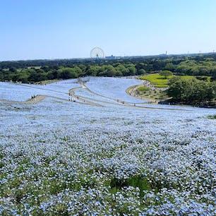 茨城県 国営ひたち海浜公園  ネモフィラ