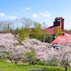 余市川の両岸5kmに渡ってソメイヨシノが咲く「余市川桜づつみ」。赤い屋根が特徴的なニッカウヰスキー余市蒸溜所の裏手にも咲いており、創業者・竹鶴政孝の妻リタがお弁当を届けるために毎日散歩した道でもあるそうです!#北海道 #余市 #余市川桜づつみ