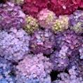 名古屋、別小江神社の手水舎は紫陽花で埋めつくされています。 とても綺麗です。 紫陽花の御朱印も頂けます。