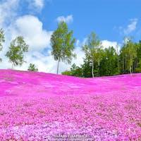 「大地が、空に、恋をした。」強烈な印象を残すキャッチコピーが有名な日本最大級の芝桜を有する滝上町。毎年5月上旬頃からピンク色に色付き始め、6月上旬には完全に恋に落ちています。10万平方メートルを超える広大な大群落の芝桜は、時折風に乗って優しい甘い香りを運んできます。 #北海道 #滝上 #芝ざくら滝上公園