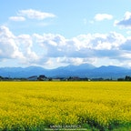 日本最大の作付面積を誇る北海道滝川市の菜の花畑。毎年5月中旬~6月上旬にかけて、市内のあちこちに黄色い絨毯が敷き詰められます🌼 周囲の田園風景や山に残る残雪も美しく、「北海道感動の瞬間(とき)100選」にも選ばれた見事な菜の花畑を楽しむことができます。#北海道 #滝川 #滝川菜の花