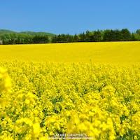 札幌から1時間、新千歳空港からは30分ほどで行ける北海道の空の玄関口に一番近い絶景のまち、安平町。毎年5月下旬~6月中旬頃まで、町全体が黄色く染まる緩やかな丘陵の菜の花畑が有名です。ここ数年は菜の花畑を歩ける遊歩道や幌馬車、牧草ロールのフォトスポットなども用意されています!#北海道 #安平 #安平菜の花