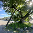 御所 清水谷家の椋の木  またこの椋の木の下で、元治元年(1864)に起こった禁門の変(蛤御門の変)の時、来島又兵衛が討死したと伝えられている。  後ろ有る建物が大宮御所ですね、天皇が居られた屋敷です♪  #サント船長の写真 #京都御所 #京都