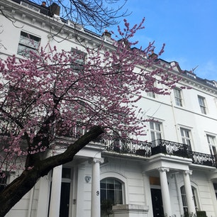 ロンドン サウスケンジントンのジョージアン様式の邸宅 この花何でしょうか アーモンドが咲くようなところではないと思う(2月)