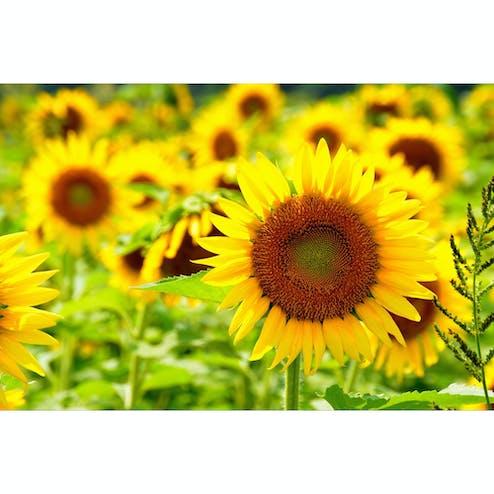 佐用町南光ひまわり畑の写真(兵庫県佐用町のひまわり畑です。一面黄色の世界は一見の価値あり...)