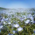 国営ひたち海浜公園  茨城県  ネモフィラの丘が素敵で、下から望むと圧巻の景色。 花に圧倒された。