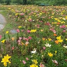 山形県飯豊町のいいでどんでん平ゆり園。 一面、色とりどりのゆりの花。