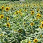南知多の花ひろば。 ひまわり畑🌻が綺麗でした。