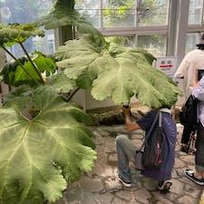 京都府立植物園 オニブキ 地上で一番大きな葉を持つ鬼蕗 実は植物園に此のオニブキを見に来た訳では有りません、 2021年7月16日にTV・新聞・ネット等で大々的に報じられた植物が有りました、 それを見に来ました。 しかし余りにも巨大なフキに思わず「パチリ」ですね♪  #サント船長の写真 #京都府立植物園
