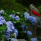 北海道で紫陽花といえばここ、伊達市の有珠善光寺。春には桜、カタクリ、ツツジの花、夏には1000株もの紫陽花、秋にはイチョウの黄葉と、1年を通して四季の花を楽しめることから、「花の寺」とも呼ばれています✿ #北海道 #伊達 #有珠善光寺