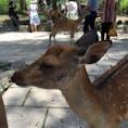 奈良公園[奈良]  とてもかわいい鹿さん!  だけど鹿せんべいを買った途端、追いかけ回される(笑)