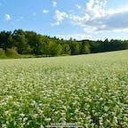 北海道黒松内町のそば畑。近年そばの生産に力を入れている黒松内では、8月下旬~9月初旬にかけて丘一面のそばの花が満開となります。斜面を利用した丘に咲くそばの白い花は、さながら美瑛のパッチワークの路のよう。緑と白で爽やかな北海道らしい風景を楽しむことができます!#北海道 #黒松内 #そば畑