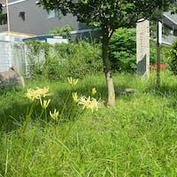 佐女牛井之跡(さめがいのあと)  一般的な花ということもあり、曼珠沙華には全国各地に数百~1000種類もの別名があるといわれます。 毒を持つこと、墓地に多く植えられたことから、怖いものでは「毒花(どくばな)」「痺れ花(しびればな)」「地獄花(じごくばな)」「幽霊花(ゆうれいばな)」「死人花(しびとばな)」「葬式花(そうしきばな)」「墓花(はかばな)」「捨て子花(すてごばな)」など。また、花の色や形からつけられたと見られる「火事花(かじばな)」「灯籠花(とうろうばな)」「天蓋花(てんがいばな)」「狐花(きつねばな)」「狐の松明(きつねのたいまつ)」「雷花(かみなりばな)」「龍爪花(りゅうそうか)」、葉と花が同時には見られないことから「葉見ず花見ず(はみずはなみず)」。その他「蛇花(へびのはな)」「剃刀花(かみそりばな)」などなど、たくさんの別名がある秋の花です。  #サント船長の写真 #史跡石碑巡り