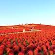 国営ひたち海浜公園 真っ赤に染まるコキアの丘は必見