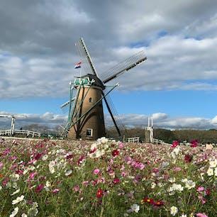 千葉県佐倉市 風車がある所はコスモスが今沢山咲いてます✨